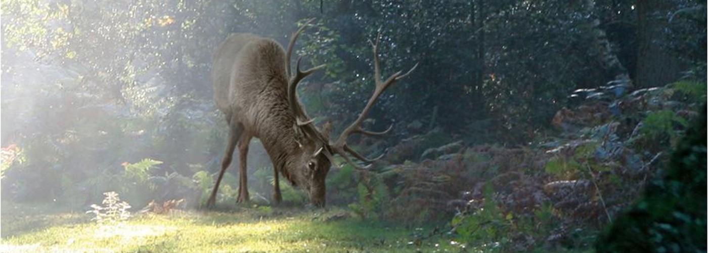 Hirsch_deer